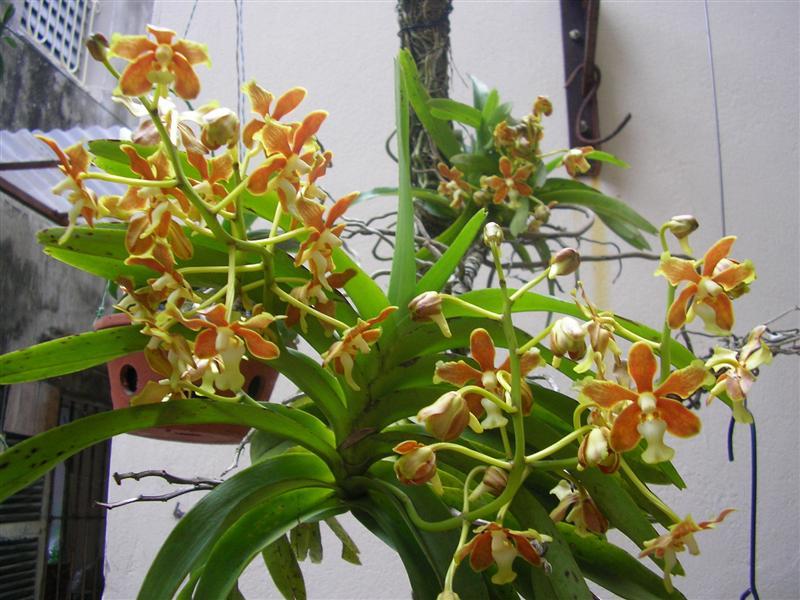 Mỹ dung dạ hương - Vanda denisoniana
