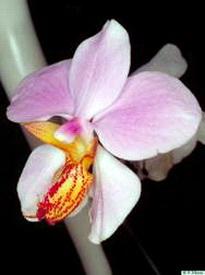 Lan cành giao - lan bươm - Papilionanthe uniflora