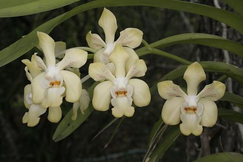 Lan vân đa dạ hương - Vanda denisoniana