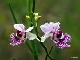 Lan Quỳnh giao, lan bướm, Papilionanthe hookeriana, Vanda hookeriana Rchb.f 1856